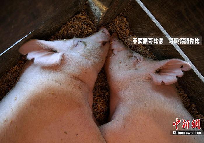 两只猪抱着睡觉的照片-人模人样 的它们 2010动物趣图盘点 11